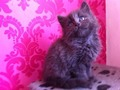 beautiful extremely fluffy maine coon x ragdoll kittens for sale