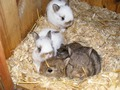 Netherland Dwarf babies ready now.
