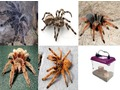 Taranula's ready now, also Starter available.