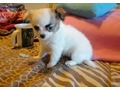 Bloodlines chihuahua puppies,